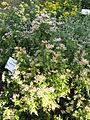 Aster ageratoides subsp tubulosus2.jpg