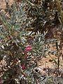 Astracantha bethlehemitica 1.jpg