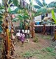 At the school banana farm.jpg