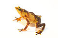 Atelopus glyphus - Pirre Harlequin frog.jpg