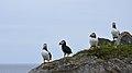 Atlantic Puffins (Fratercula arctica) - Elliston, Newfoundland 2019-08-13 (09).jpg