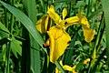 Atlas roslin pl Kosaciec żółty 8919 7204.jpg