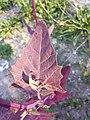 Atriplex hortensis sl5.jpg