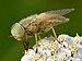 Atylotus rusticus (male) - Achillea millefolium - Valingu.jpg