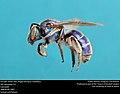 Augochloropsis metallica (37183724022).jpg