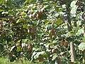 Aurice kiwi 1.JPG