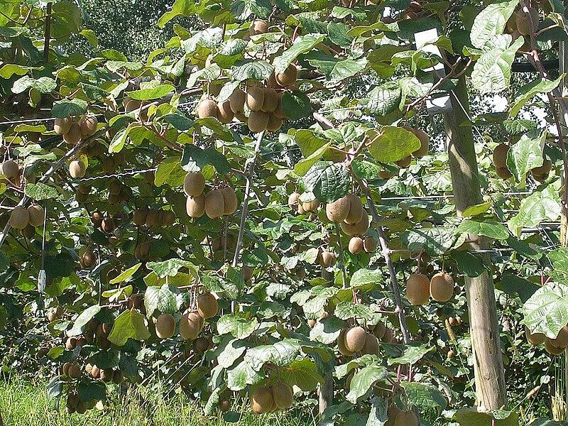 fruits de l'actinidier