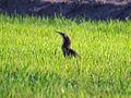 Australasian Bittern (Botaurus poiciloptilus) in the grass.jpg
