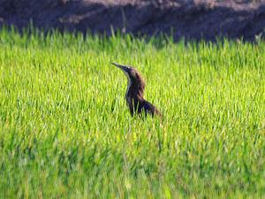 Australasian bittern - Image: Australasian Bittern (Botaurus poiciloptilus) in the grass
