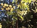 Australian Wattle (Acacia pycnantha) .jpg
