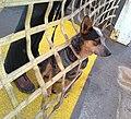Australian cattle dog Goose aboard the Guemes Island Ferry.jpg