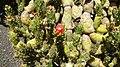 Austrocylindropuntia cylindrica flower.jpg