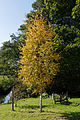 Autumn birch, Feeringbury Manor garden, Feering Essex England.jpg