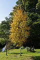 Autumn birch, Feeringbury Manor garden, Feering Essex England.jpg