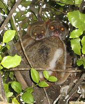 A baby woolly lemur clings to its mother's back as she clings to a tree.