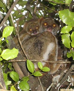 Avahi laineux, dans un arbre, avec son petit sur le dos