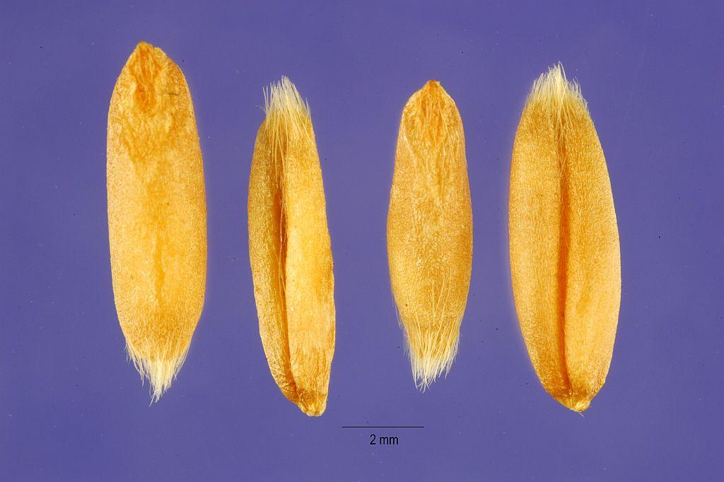 Avena nuda seeds avnu2 001 php