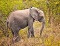 Baby Elephant, Uganda (15514786934).jpg