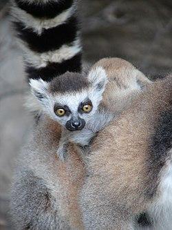Baby Ring-Tailed Lemur, Anja Reserve (3953050649).jpg