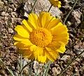Baileya multiradiata flower 3.jpg