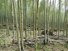 les arbres du jardin, ambiance bigarrée  dans FLORE FRANCAISE 220px-Bamboo_forest%2C_Taiwan
