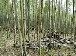 Bamboo forest, Taiwan.jpg