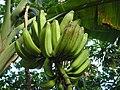 Banana freckle Pohnpei (5680832547).jpg