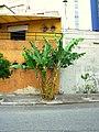 Bananeira - panoramio.jpg