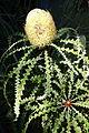 Banksia speciosa - San Francisco Botanical Garden - DSC09884.JPG