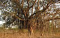 Banyan Tree Ficus benghalensis by Dr. Raju Kasambe DSCN9597 (4).jpg