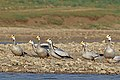 Bar-headed geese (Anser indicus).jpg
