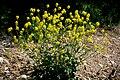Barbarea vulgaris ENBLA06.jpg
