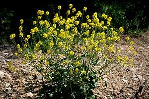 Barbarea vulgaris - Image: Barbarea vulgaris ENBLA06