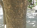 Bark of Pongamia.jpg