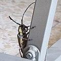 Batocera rufomaculata יקרונית התאנה (20).jpg