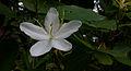 Bauhinia acuminata Flower.jpg