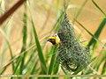 Baya Weaver (Ploceus philippinus) (44745520230).jpg