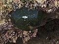 Beadlet anemone (Actinia equina).jpg