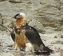 Bearded Vulture Wikipedia
