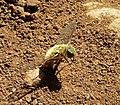 Beefly , near Villa species (26243917728).jpg