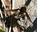 Beefly Bombylius species. Bombyliidae, Bombyliini (23883750037).jpg