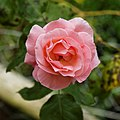 Beer garden pink rose at Staplefield, West Sussex, England.jpg