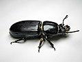 Beetle-Bessbug.jpg