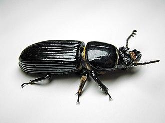 Odontotaenius disjunctus - Image: Beetle Bessbug