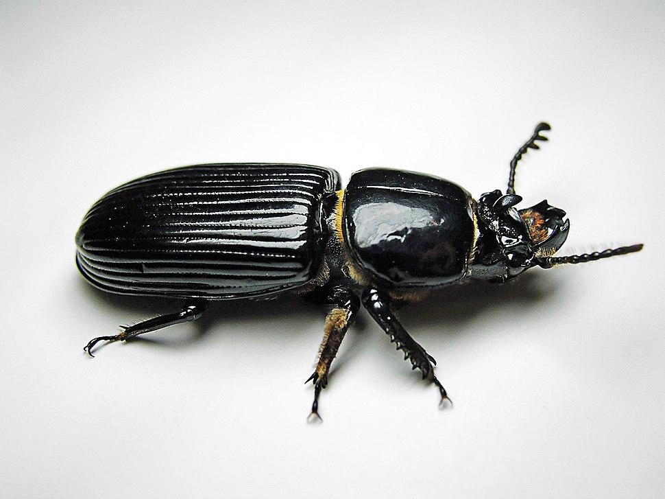 Beetle-Bessbug