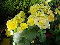 Begonia × hiemalis (2).JPG