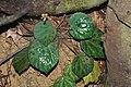 Begonia Tagbanua 1- Raab Bustamante.jpg