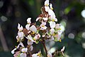 Begonia heracleifolia heracleifolia 1zz.jpg