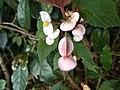 Begonia malabarica, Malabar Begonia, കയ്യാലപ്പുളി kayyalappuli.jpeg