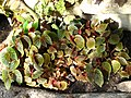 Begonia strigilosa 01.JPG